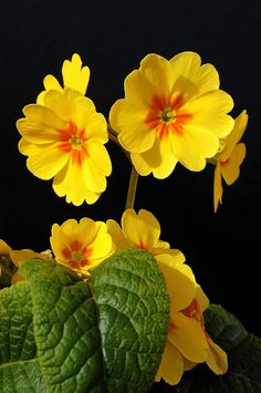 outdoormagic: loveandaquestion: yellow flowers primula by Francesco Carta on Flickr.