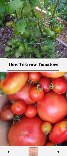 *How To Grow Tomatoes* Learn how to grow tomatoes and how to plant tomatoes in a garden. Growing great tomatoes is easy if you follow a few simple steps. #howtogrowtomatoes #growinggreattomatoes #howtoplanttomatoesinagarden
