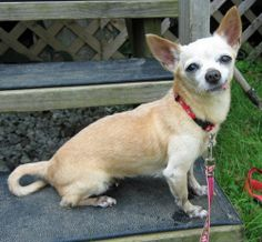 Petfinder  Adoptable | Dog | Chihuahua | Lambertville, NJ | Tia - TIA is a13 year-old and 4 pound female tan colored Chihuahua whose wold has been shaken from under her. This healthy senior lost her companion who was no longer able to care for her. She was dearly beloved and is feeling the after-shock of losing her one and only home. Animal Alliance has placed her in an outstanding foster home until some wonderful person comes along that loves the senior pups...