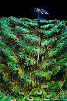 Peacock, one of the most colorful of all the exotic birds that God has given us. Pretty Birds, Love Birds, Beautiful Birds, Animals Beautiful, Cute Animals, Baby Animals, Beautiful Pictures, Male Peacock, Peacock Bird