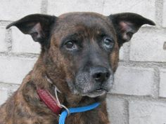 TO BE DESTROYED 1/18/14 Brklyn Ctr   SILKY A0989306  SPAYED FEMALE BR BRINDLE PIT BULL/GERM SHEP  1/11/14, ★  LOOK AT SILKY 9 YRS  SENIOR ALERT!!!  ★  57 lbs ALREADY SPAYED  A friendly girl. Doesn't mind a bit of petting. House trained, quiet, shy, friendly. Silky is sad she's @ the shelter because her owner is sick :(  Please share lovely SILKY for a forever home. Anyone interested should apply immediately to New Hope rescues -3 if at all possible! PLEASE -help us find a loving home for…