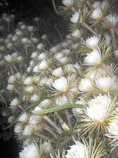 112 best plants night blooming cereus images on pinterest cacti night blooming cereus google search love flowersbeautiful flowers white mightylinksfo