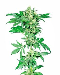 to buy marijuana online can I buy marijuana online in can I find Cannabis in City can I buy cannabis oil online can I get weed online which website can I discuss and buy marijuana do I get weed online with fast delivery near me skunk online Indica Strains, Cannabis Plant, Cannabis Oil, Fast Flowers, Seeds Online, Seed Bank, Seeds For Sale, Weed Seeds, Ganja