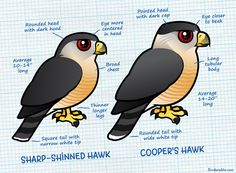 Differences between Sharp-shinned Hawk and Cooper's Hawk