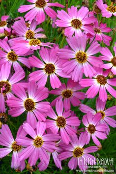Coreopsis 'Pink Sapphire' - 'Pink Sapphire' was picked for its hardiness and its electric pink flower color. Large, purple pink flowers with white eyes cover this upright, low growing Coreopsis for over 5 months. No need to clean up after the flowers as all of the Terra Nova® Coreopsis are self-cleaning.