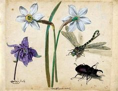Jacques Le Moyne de Morgues (Dieppe ca. London) , Two narcissi and a columbine, a dragonfly and a stag beetle Vintage Illustration Art, Botanical Illustration, Renaissance, Flying Flowers, Insect Art, Old Master, Botanical Prints, Botanical Drawings, Western Art