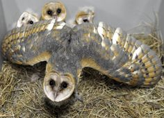 barn owl protects her babies at the Amneville Zoo France.