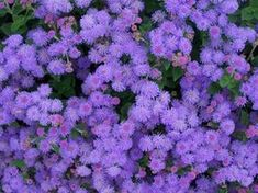 Hawaii Blue Ageratum - Great as a border or in ponds and containers, the Hawaii Blue Ageratum is bound to brighten up your day with its bright blue flowers! Spring Flowers Names, Flower Names, Blue Flowers, Butterfly Flowers, Deer Resistant Annuals, Flower Seeds Online, Summer Bedding Plants, Annual Flowers, Oh Deer