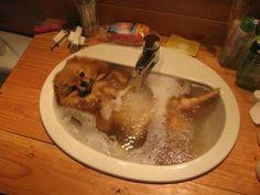 pomeranian puppy dog taking bath in the sink dog bath