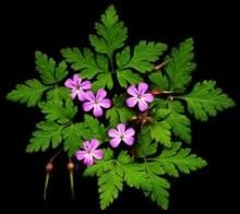 Herb Robert oxygenates the cells