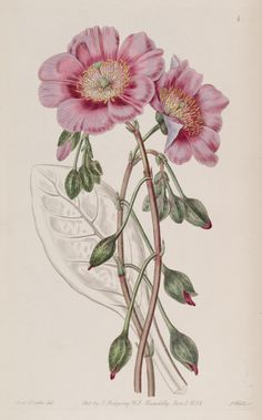 v. 25 (1839) - Edwards's botanical register. - Biodiversity Heritage Library