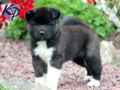 Sky – Akita Puppy  #akita  #keystonepuppies