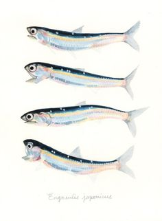 "Engraulis japonicus / Japanese anchovy / ""Katakuchiiwashi"" (カタクチイワシ Engraulis japonicus: uonofu 魚の譜から)"