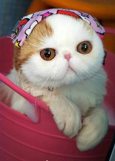 Snoopy the cat - Internet sensation Snoopy the Cat has becoming an overnight celebrity and it's pretty obvious why. Snoopy is probably the most adorable cat I. Animals And Pets, Baby Animals, Cute Animals, Animal Fun, Funny Animals, Fat Cats, Cats And Kittens, Kitty Cats, Kittens Cutest