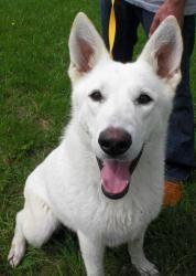 Sasha, an adoptable white german shepherd at the Emporia, KS animal shelter.