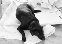 labrador languit op het behang dat net van de muur gehaald is