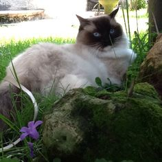 Nami seal point mitted