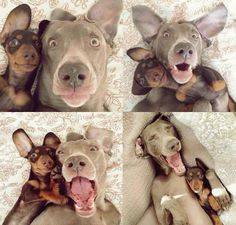 Selfies are the biggest trend now days, but have you ever seen a non-human take one? Here are 17 amazing examples of animals who are showing us humans how selfies should be taken! Selfies, Funny Dogs, Funny Animals, Cute Animals, Silly Dogs, Funny Bf, Funny Stuff, Goofy Dog, Smiling Dogs