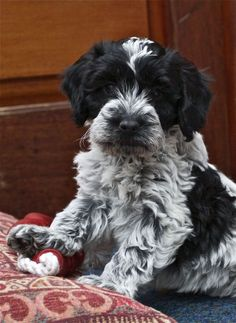 The traits we all enjoy about the Intelligent Havanese Puppies Cockapoo Puppies, Dogs And Puppies, Goldendoodles, Doggies, Puppy Mix, Blue Roan, Dog Anxiety, Yorkshire Terrier Puppies, Companion Dog