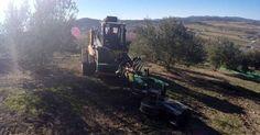 Recolección de aceituna en Jaén #olive #oil #olives