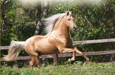 andalusian horses | Palomino Spaniard, andalusian, horses, palomino, spanish