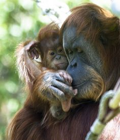 For the first two years of their life, young orangutans are dependent their mom for food and transportation.