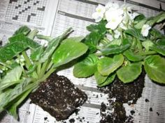 African Violets: Divide & De-Sucker for Better Flowering - I am doing this today with a couple of my African Violet plants!!