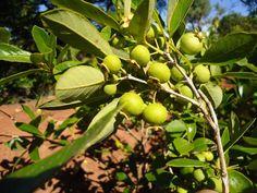 Gabiroba (Campomanesia xanthocarpa) é uma planta de origem brasileira, cujo nome é originado da língua guarani, que quer dizer, árvore da casca amarga. Ela é conhecida popularmente por gabirobeira, guabiroba, guavirova, guabiroba-miúda e guabiroba-da-mata.