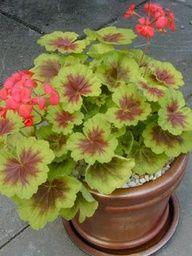 Unusual leaf color geranium