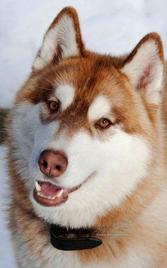 Wonderful All About The Siberian Husky Ideas. Prodigious All About The Siberian Husky Ideas. Siberian Husky Training, White Siberian Husky, Siberian Husky Puppies, Husky Puppy, Siberian Huskies, Huskies Puppies, Alaskan Husky, Alaskan Malamute, Husky Tumblr