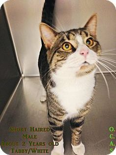 """""""H-7"""" - URGENT - Ohio County Animal Shelter in Triadelphia, WV - ADOPT OR FOSTER - 2 year old Male Domestic Shorthair - Good with kids"""