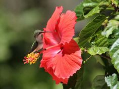 So beautiful! A Winged Jewel In A Hibiscus Flower.