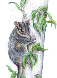 Leadbeater's Possum Australian wildlife art greeting | Etsy