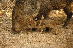 Javelina adult with baby; Sonoran Desert, Arizona