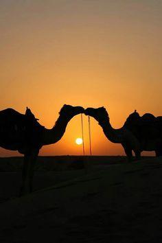 rajasthan by Christian Heitz - Silhouette - Camel Camel Tow, Silhouettes, Animals Beautiful, Cute Animals, Desert Life, Desert Sunset, Alpacas, All Gods Creatures, Jolie Photo