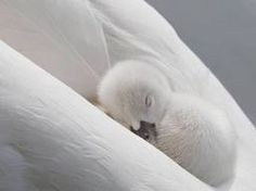 A baby swan