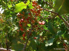 El pistacho | Cuidar de tus plantas es facilisimo.com