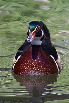˚Wood Duck' gorgeous (male)