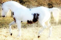 Amazing Tovero Paint. Horse or Pony I can't say....