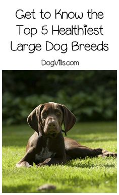 What are the most healthy dog breeds? It depends on a ton of factors, but these 5 large breeds often top the list! Check them out!