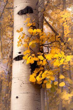 New** Fall aspen trees, fall tree decor, Colorado art, aspens, golden aspen tree. New** Fall aspen