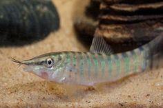 picture of Berdmore's Loach Reg Syncrossus berdmorei Pez Botia, Clown Loach, Cool Fish, Exotic Fish, Tropical Fish, Aquarium Fish, Fish Tank, Seas, Lakes