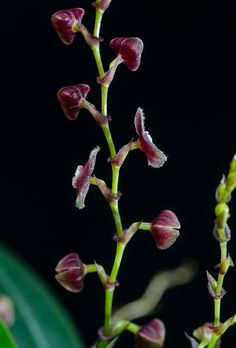 Lepanthes cordeliae Luer, Grows in wet mountainforests in Peru. The flowers are about cm in size. Rare Flowers, Cut Flowers, Amazing Flowers, Orchid Flowers, Gerber Daisies, Orchidaceae, Wild Orchid, My Secret Garden, Different Flowers
