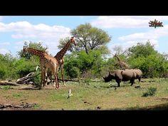 African Safaris   Rhinos watching Giraffe fight   Taga Safaris Rhinos, African Safari, The Dreamers, Traveling By Yourself, Wildlife, World, Animals, Image, Animales