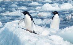 (001) - 7 de Julio 2013 - La acidificación del mar amenaza los ecosistemas marinos en la Antártida - En el océano alrededor del Polo sur se extinguirá en los próximos siglos el krill antártico, un crustáceo que es importante fuente de alimentación de ballenas, pingüinos y otras especies animales, por la acidificación de los mares a raíz del aumento de la concentración de dióxido de carbono en la atmósfera.    Esto fue pronosticado por biólogos encabezados por So Kawaguchi del Antarctic Climate