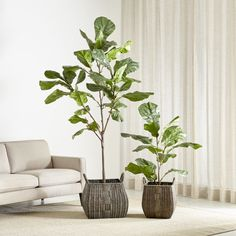 Shop Faux Fiddle Leaf Fig Trees.  Always green, our gorgeous faux fig trees light up a corner with lush, sculptural leaves and conservatory greenery.  Pop them in a basket or cachepot and wait for the compliments on your green thumb.