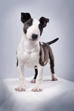 What a peculiar, lovely look. <3 An English Bull Terrier could be yellow and pink, (my least favorite colors) and I'd still think it was the best looking pup around.