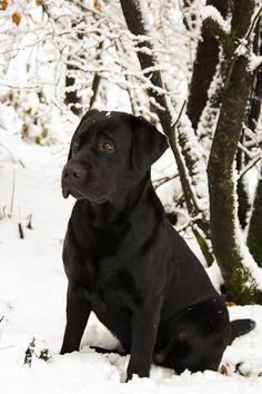 Snow #Labrador