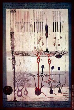 Ramon y Cajal drawing of retinal cells