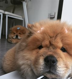 When you're trying to s eak a selfie of bae but they catch you! So cute! Love chow chows